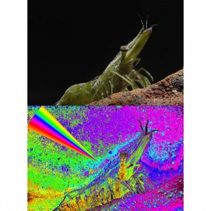 Shrimp in Natural and Polarized light