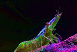 "Shrimp in ""natural"" polarized light"